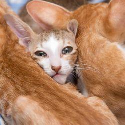 Ориентальные котята сладко спят. Питомник ориентальных кошек в Москве. Купить котёнка.Истории и фотографии о жизни кошек.