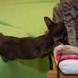 Голодный ориентальный котёнок. Питомник ориентальных кошек в Москве. Купить ориентального котёнка.Ориентальные кошки. Ориентальный котёнок. Истории о кошках. Фото ориентальных кошек.