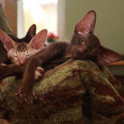Питомник ориентальных кошек в Москве. Купить ориентального котёнка. Ориентальные котята. Ориентальные кошки. Фото ориентальных кошек.