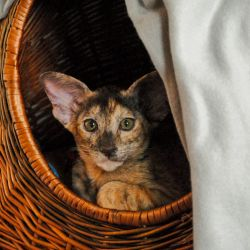 Ориентальный котёнок в новом доме залез в корзину