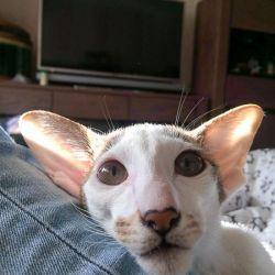 Котёнок в новом доме. Ориентальный котёнок. Ориентальные кошки. Питомник ориентальных кошек в Москве. Купить ориентального котёнка.