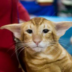 Грустный кот. Питомник ориентальных кошек в Москве. Купить ориентального котёнка.Ориентальные кошки. Ориентальный котёнок. Истории о кошках. Фото ориентальных кошек.