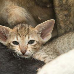 Усы ориентального котёнка. Питомник ориентальных кошек в Москве. Купить котёнка.Истории и фотографии о жизни кошек.