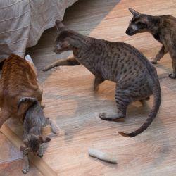 Кошка защищает котёнка. Питомник ориентальных кошек в Москве. Купить котёнка.Истории и фотографии о жизни кошек.