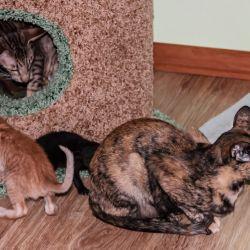 Ориентальные кошки вместе воспитывают котят