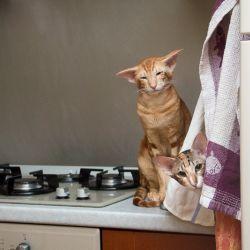 Кошка в засаде. Питомник ориентальных кошек в Москве. Купить котёнка.Истории и фотографии о жизни кошек.