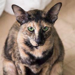 Кот на вязку. Питомник ориентальных кошек в Москве. Купить котёнка.Истории и фотографии о жизни кошек.