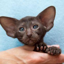 Шоколадная ориентальная кошка с хорошими ушами
