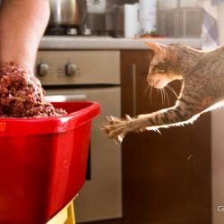 Натуральное питание ориентальных кошек и котят