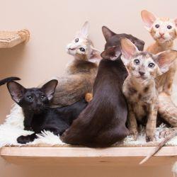 Ориентальные котята забрались впятером на кошачью полку из комплекта кошачьей мебели, которую делает наша мастерская.