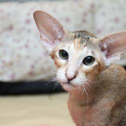 Красивая ориентальная кошка