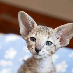 Красивый ориентальный котёнок