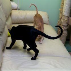 Ориентальные кошки