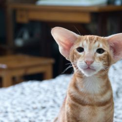 Наш новый рыжий ориентальный кот
