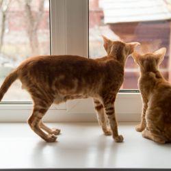 Рыжие мраморные ориентальные коты смотрят в окно