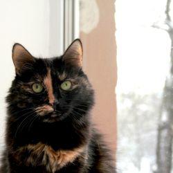 Ориентальный котёнок. Ориентальные кошки. Питомник ориентальных кошек в Москве. Кошачий питомник.