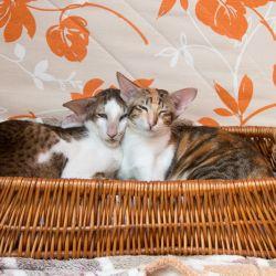 Ориентальные кошки питомника Аватар.