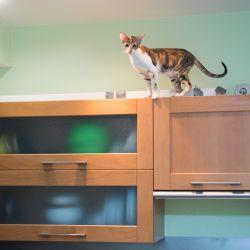 Ориентальная кошка питомника Аватар
