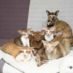Купить ориентального котенка. Фото ориентальных кошек. Ориентальные кошки. Ориентальные котята. Питомник ориентальных кошек в Москве. Комплексы для кошек. Кошачий комплекс. Когтеточка для кошки.
