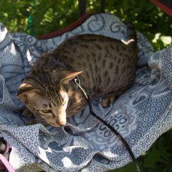 Ориентальная кошка на даче. Ориентальные котята. Ориентальные кошки. Питомник ориентальных кошек в Москве. Купить ориентального котёнка.