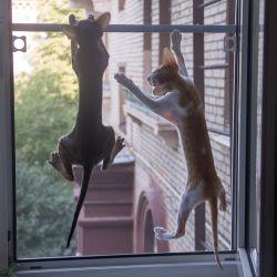Ориентальные котята охотятся за голубем. Питомник ориентальных кошек в Москве. Купить ориентального котёнка.