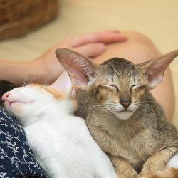 Истории про ориентальных кошек. Питомник ориентальных кошек в Москве. Купить ориентальных котят. Домик для кошки. Комплекс для кошки.