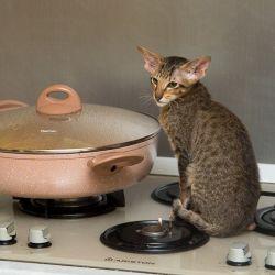 Ориентальный котёнок. Ориентальные кошки. Купить ориентального котёнка. Питомник ориентальных кошек в Москве. Домик для кошки. Комплекс для кошек.