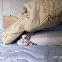 Купить ориентального котенка. Ориентальные кошки. Ориентальные котята. Питомник ориентальных кошек в Москве. Комплексы для кошек. Кошачий комплекс. Когтеточка для кошки.