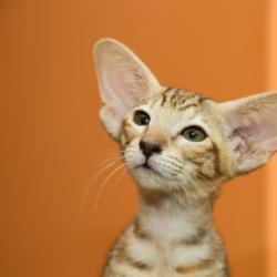 Шоколадный пятнистый ориентальный котёнок. Ориентальные кошки. Питомник ориентальных кошек в Москве. Питомник кошек.
