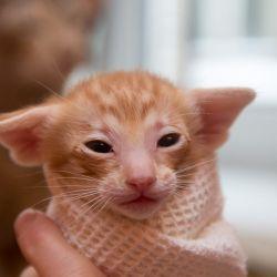 Рыжий ориентальный котёнок. Питомник ориентальных кошек в Москве. Купить ориентального котёнка.Ориентальные кошки. Ориентальный котёнок. Истории о кошках. Фото ориентальных кошек.