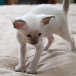 Сиамский котёнок. Питомник ориентальных кошек. Купить ориентального котёнка. Фото ориентальных котят.