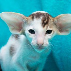 Шоколадный ориентальный котёнок биколор. Питомник ориентальных кошек в Москве. Купить котёнка.Истории и фотографии о жизни кошек.