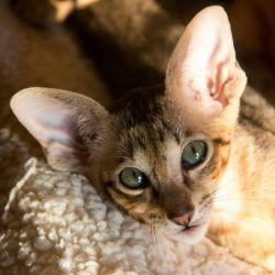 Ориентальный котёнок. Ориентальная кошка. Купить ориентального котёнка. Питомник ориентальных кошек в Москве. Домик для кошки. Комплекс для кошек.Чёрный пятнистый ориентальный котёнок.
