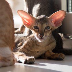 Ориентальный котёнок. Ориентальная кошка. Купить ориентального котёнка. Питомник ориентальных кошек в Москве. Домик для кошки. Комплекс для кошек.