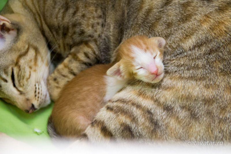Ориентальный котенок красный пятнистый биколор. Ориентальный котенок с мамой.