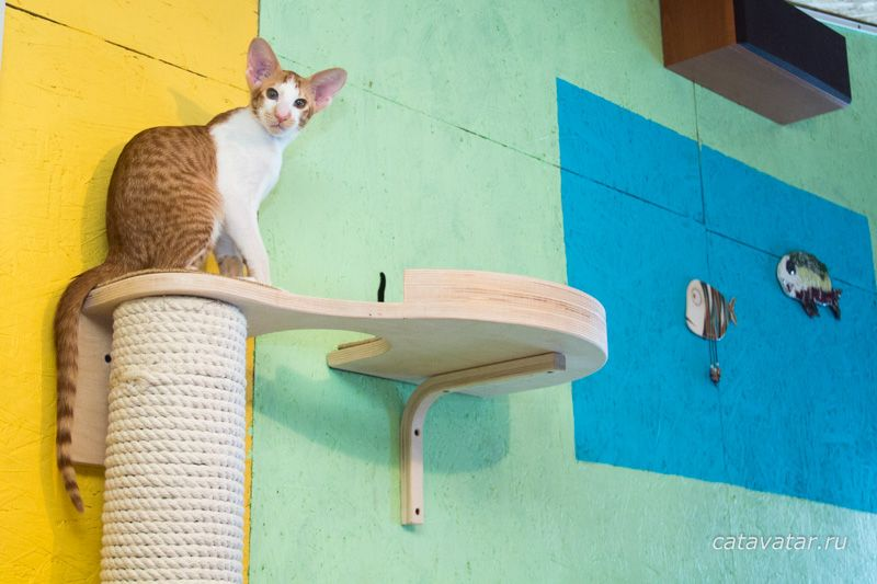 Ориентальный котенок красный пятнистый биколор.