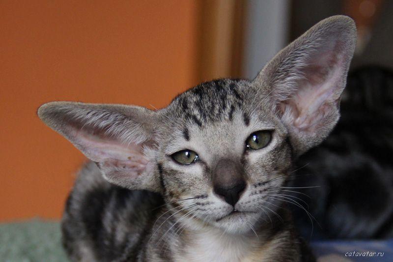 Мраморный ориентальный котёнок. Ориентальные кошки. Питомник ориентальных кошек в Москве. Питомник кошек